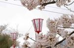 千光寺桜1.jpg